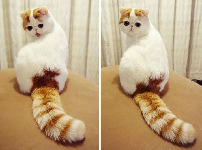 Снуппи относится к породе экзотическая короткошерстная кошка, окрас - красный табби ван - ПоЗиТиФфЧиК - сайт позитивного настроения!