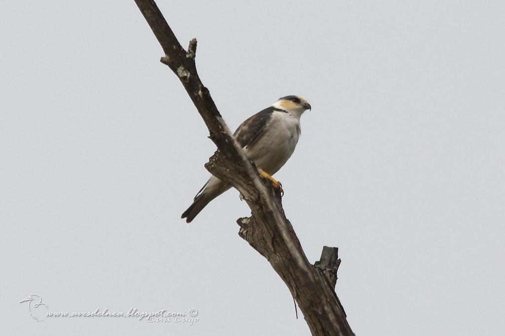 Milano chico (Pearl Kite) Gampsonyx swainsonii