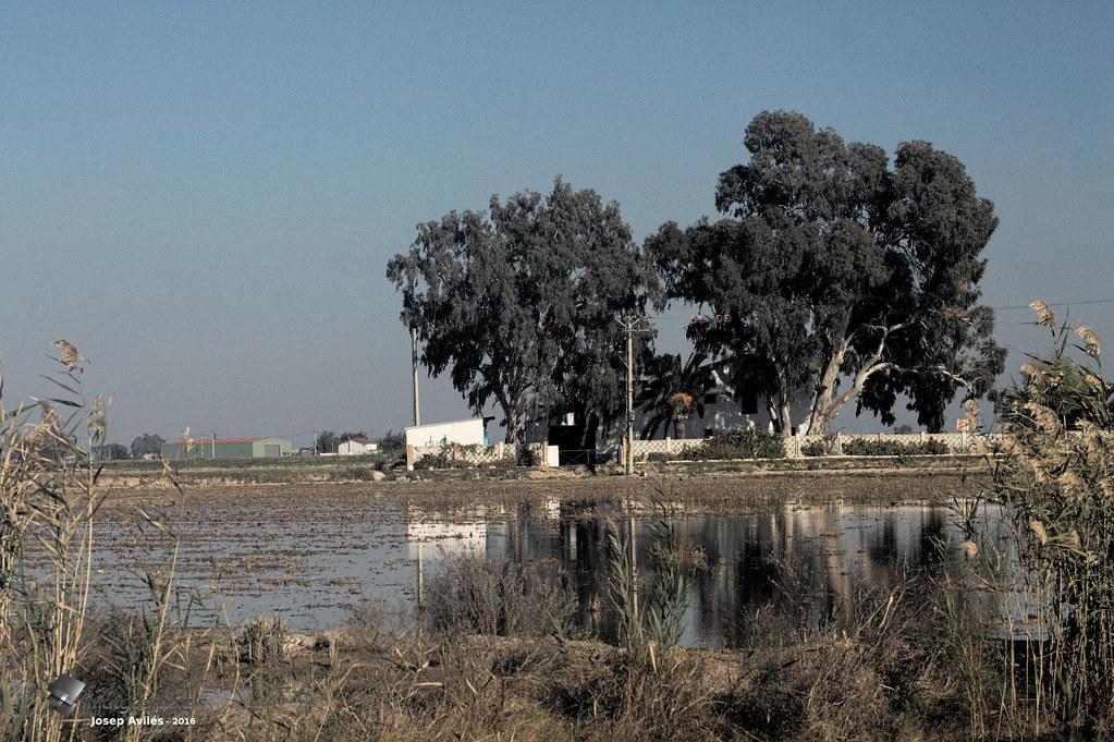 Arrossars vora la llacuna de l'Encanyissada. Delta de l'Ebre. Montsià