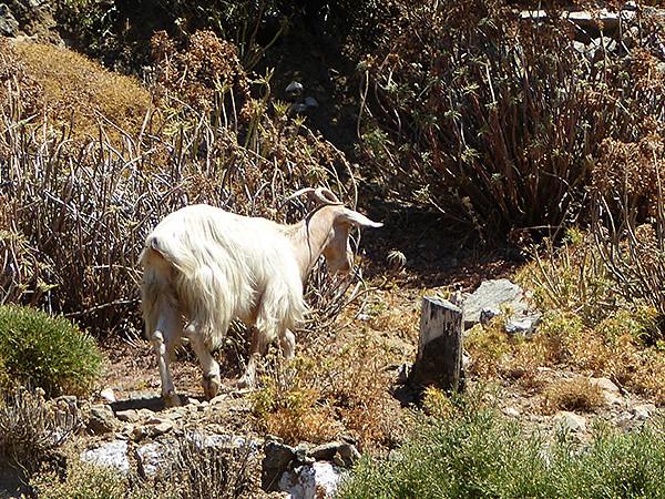 une chèvre dans la campagne naxiote