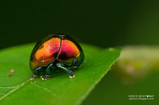 Leaf beetle (Lamprosomatinae) - DSC_8554