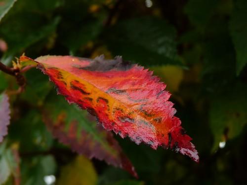 Plum leaf