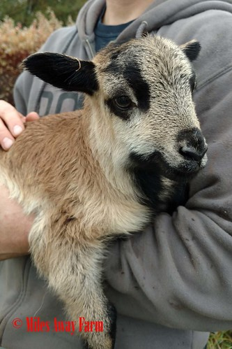 American Blackbelly Lamb