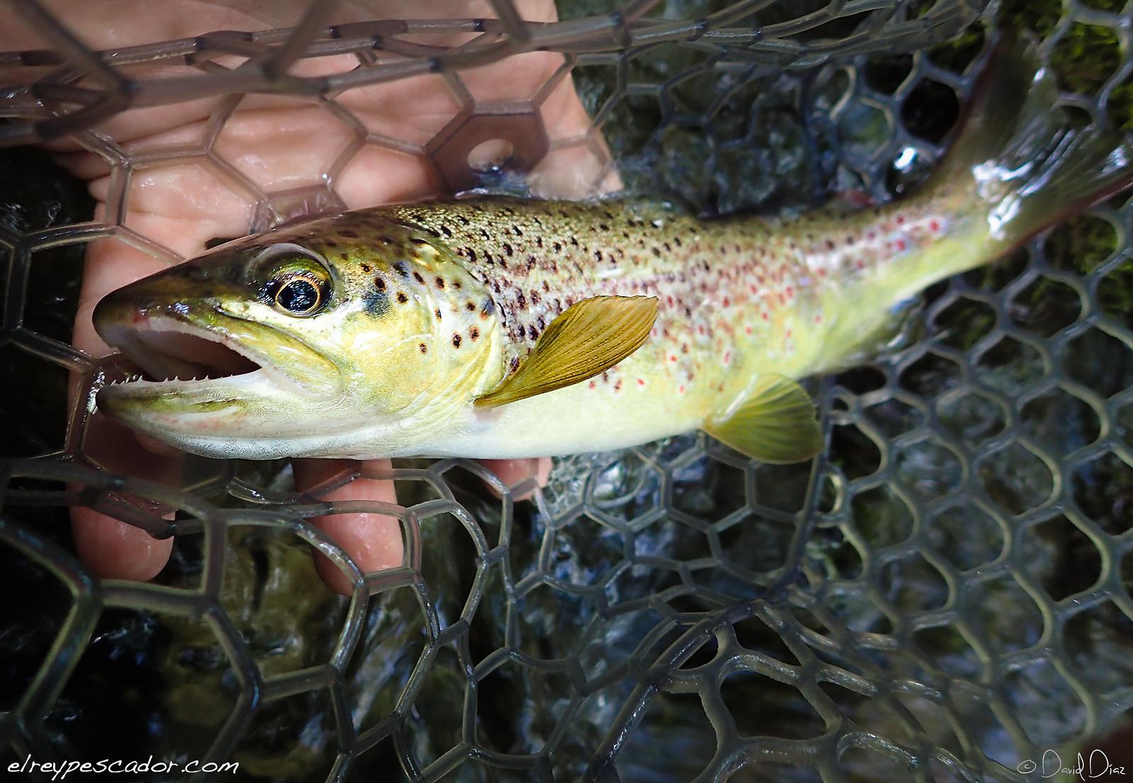 Flyfishing Tajuña River (Trucha / Trout)