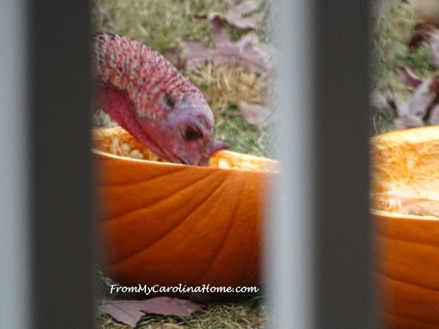 Pumpkins for Turkeys 11
