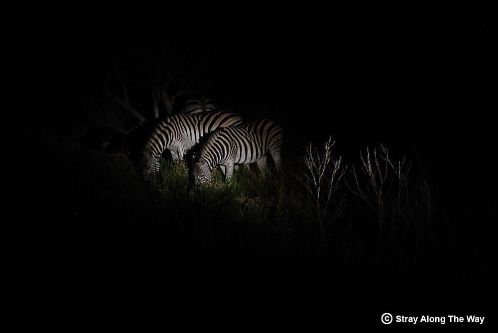 isimangaliso-zebra