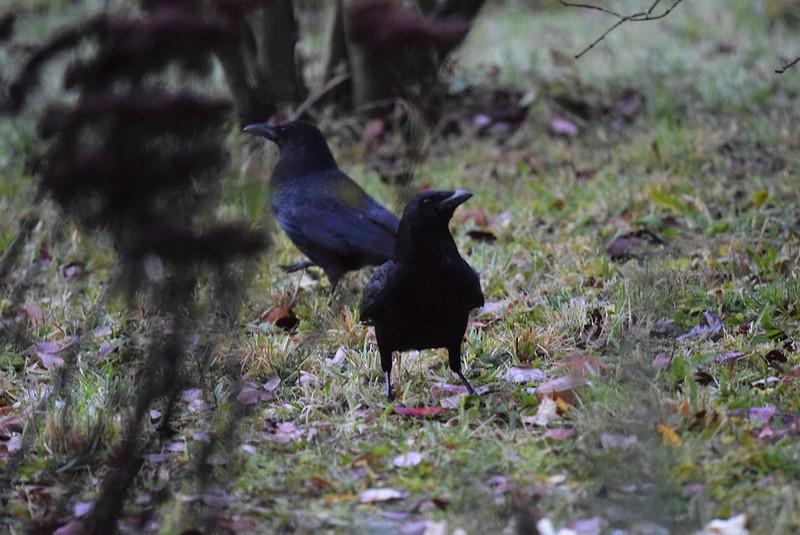 Crow 24.11 (2)