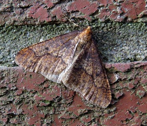 Mottled Umber Erannis defoliaria Tophill Low NR, East Yorkshire December 2016