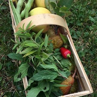 Heutige Ernte im Garten,.. die Äpfel und Birnen werden Kuchen, die Minze und Zitronenverbene werden getrocknet für Tee,. die Chili verköchelt, und die Fisolen sind schon für nächstes Jahr zur Saat gedacht, also die Bohnen innen,. #gyo #garten #ernte2016 #