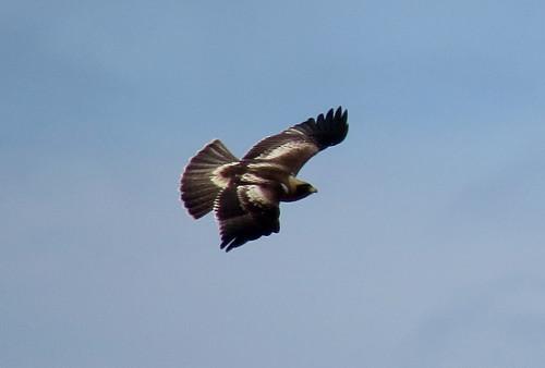 Booted Eagle Aquila pennata Cabranosa, Sagres, Algarve October 2016