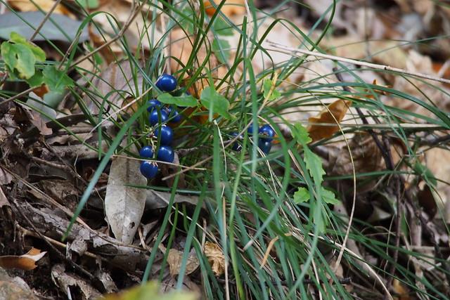 Dwarf Lily-turf (Ophiopogon japonicus)