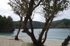テリハボク(タマナ)