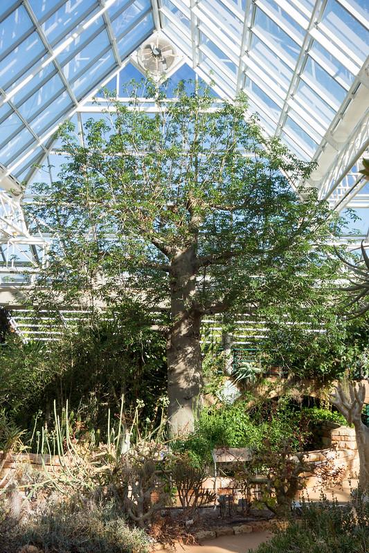 Kirstenbosch National Botanical Garden Baoba Tree, Conservtory.