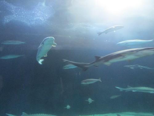 Shark Aquarium Of The Bay Pier 39 Fisherman 39 S Wharf