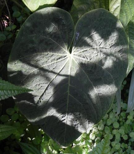 Anthurium corrugatum_tholzer3