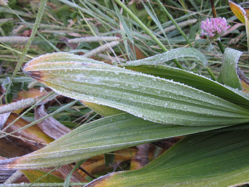 Heavy morning frost on the corn lilly leaves in the meadow on the Emerald Lake Trail