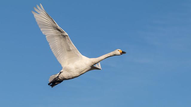 Bewick Swan 071__339