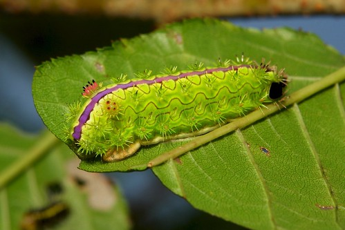 "Stinging Nettle Slug Caterpillar (Cup Moth, Parasa pastoralis, Limacodidae) ""Lavenderman"""