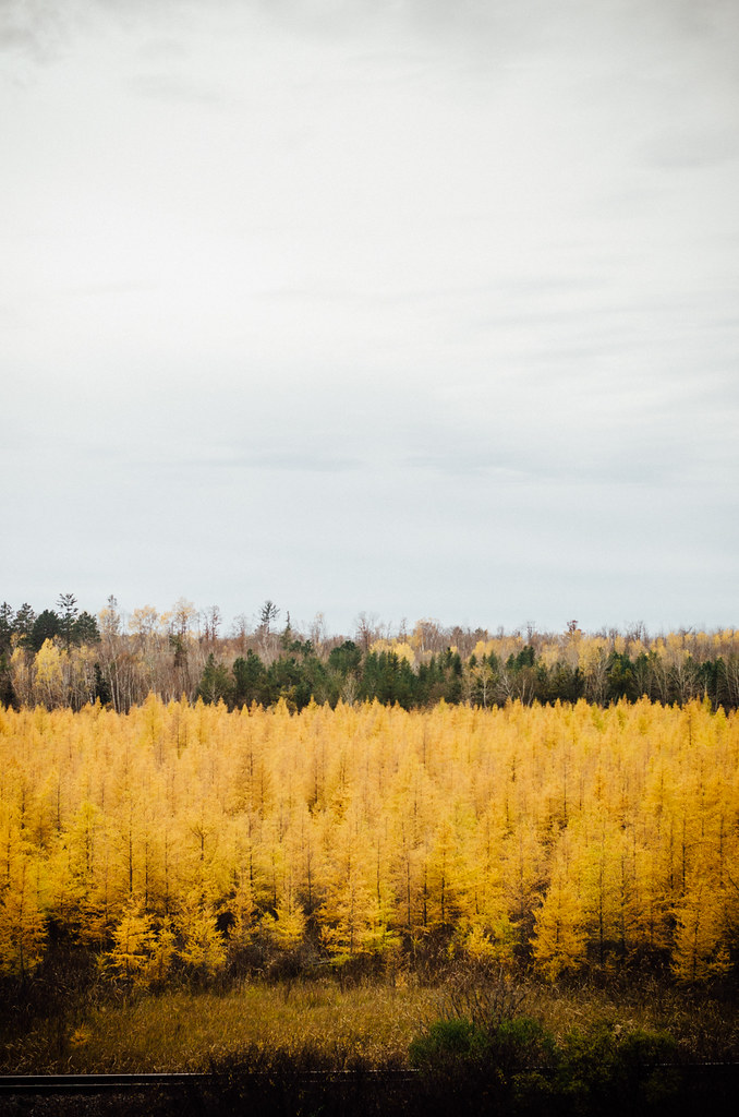 Tamarack/Larch
