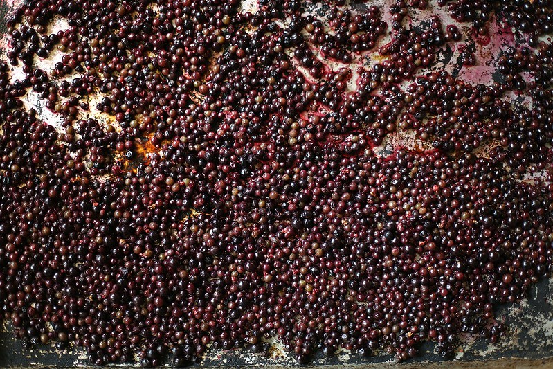 dehydrating elderberries (notice the poisonous red and green ones)