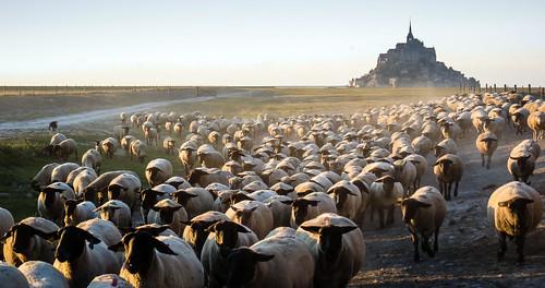 Salt Marsh Lambs