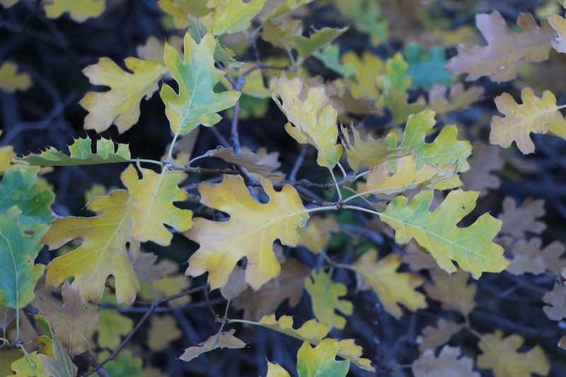 Black Oak Leaves changing color for Autumn