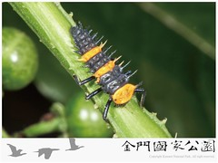 十斑大瓢蟲-02