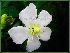 White-flowered Melastoma malabathricum (Malbar Gooseberry, Indian/Singapore Rhododendron, White Senduduk), 4 Nov. 2016