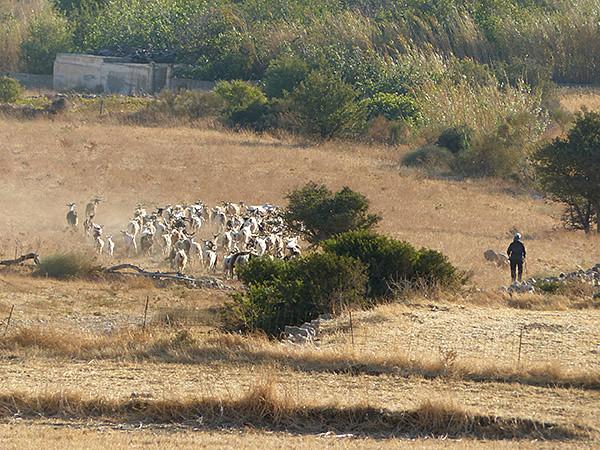 chèvres devant la tour Bazeou