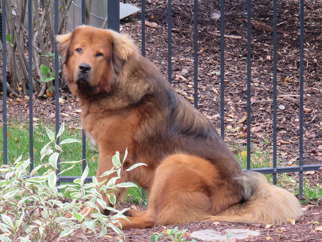 Tibetan Mastiff Siboney 03-20161007