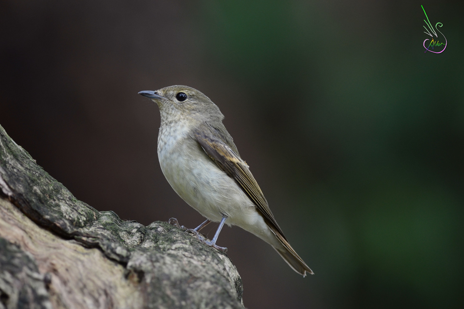 Narcissus_Flycatcher_6368