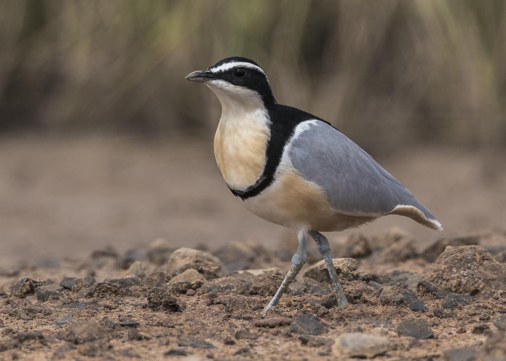 Egyptian Plover-49