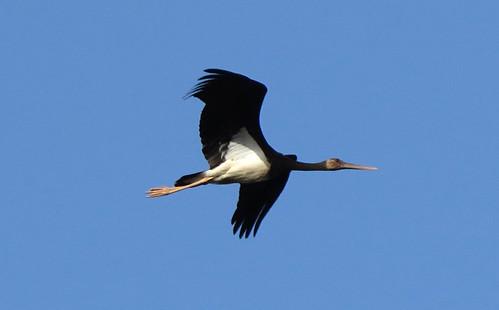 Black Stork Ciconia nigra Vilarinha, Algarve, October 2016