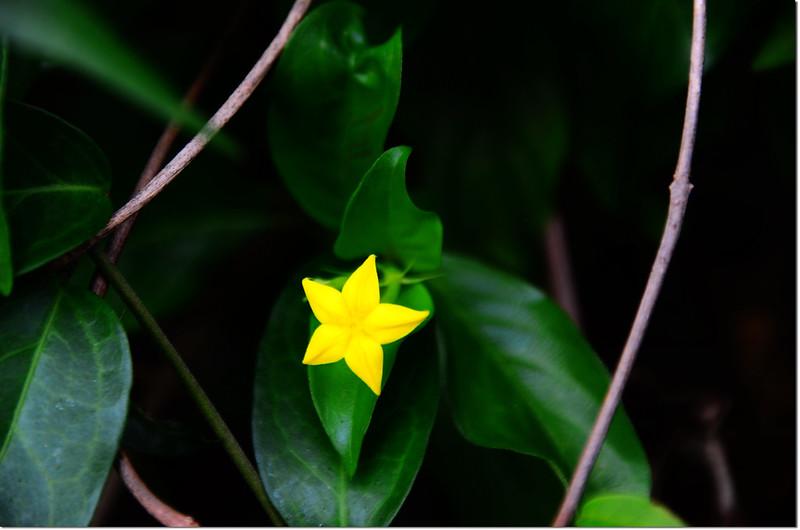玉葉金花 1
