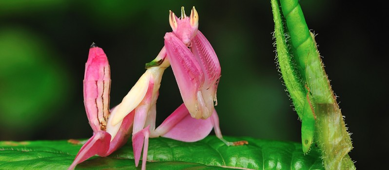 pink-orchid-mantis-798x350