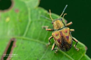 Leaf beetle (Chrysomelidae) - DSC_9083