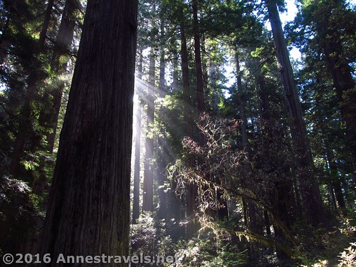 Early morning at the Lady Bird Johnson Grove of Redwoods, California