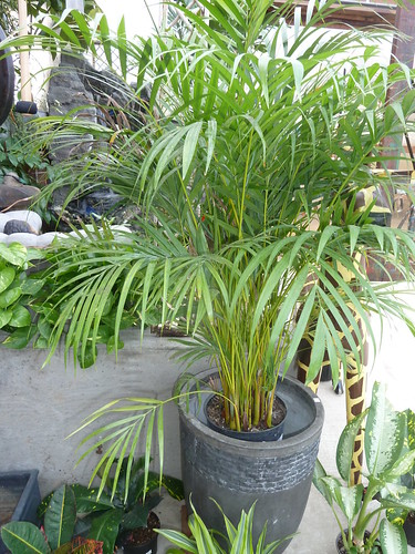 Dypsis lutescens kmoore ccby20