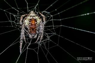 Orb weaver spider (Eriovixia sp.) - DSC_9880