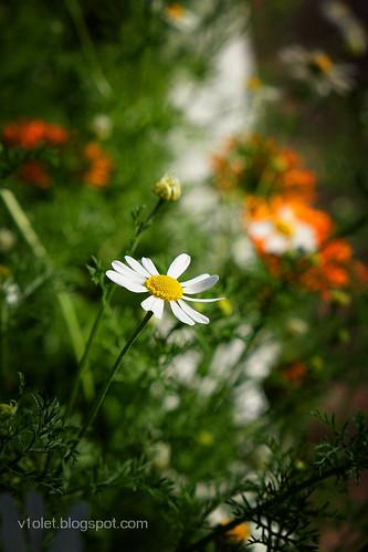 DSCF0585 daisies1crw