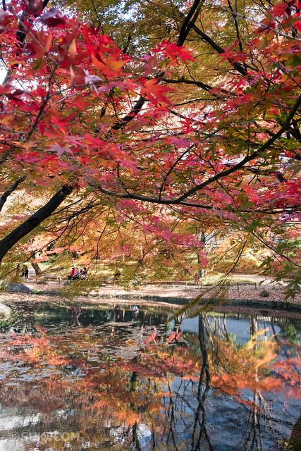 小石川後楽園の紅葉が見頃
