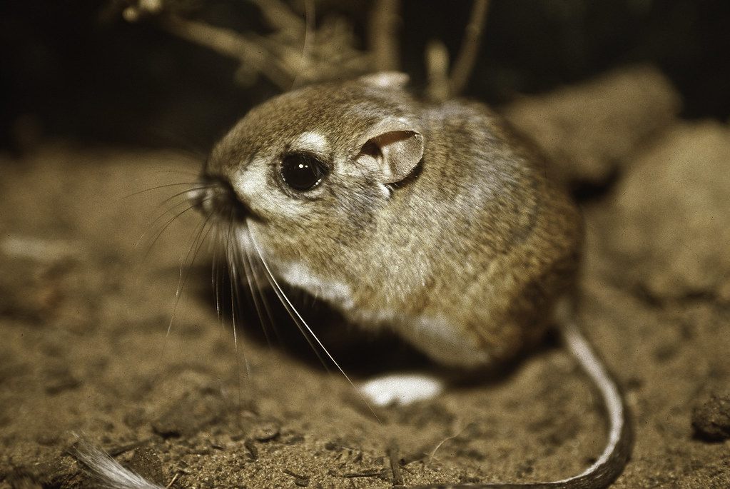 Federally endangered Morro bay kangaroo rat, last documented in the wild in 1986.