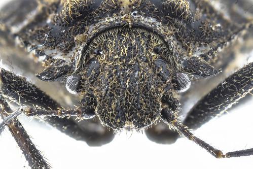 オオクロカメムシ Scotinophara horvathi Distant, 1883-4-4