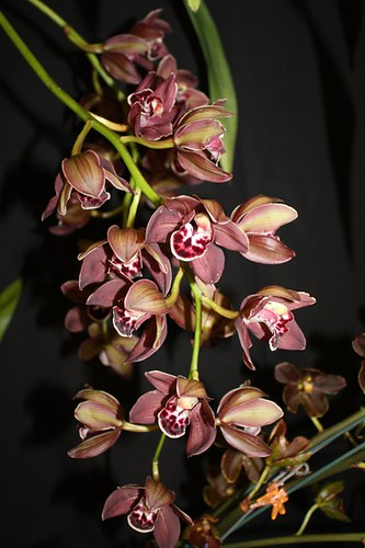 Cymbidium unregistered hybrid