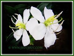 Melastoma malabathricum (Malbar Gooseberry, Indian/Singapore Rhododendron, White Senduduk) with white flowers, 5 Nov. 2016