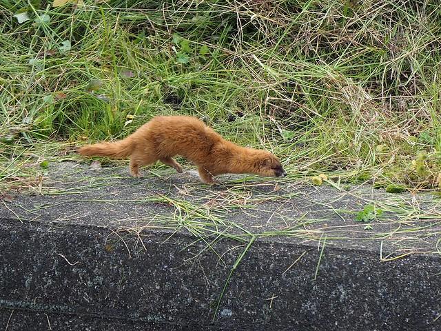 Japanese weasel (Mustela itatsi, イタチ)