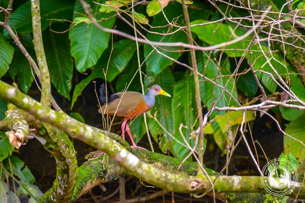 Grey-necked Wood-Rail in Sierpe