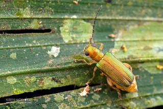 Leaf beetle (Megascelis sp.) - DSC_8600