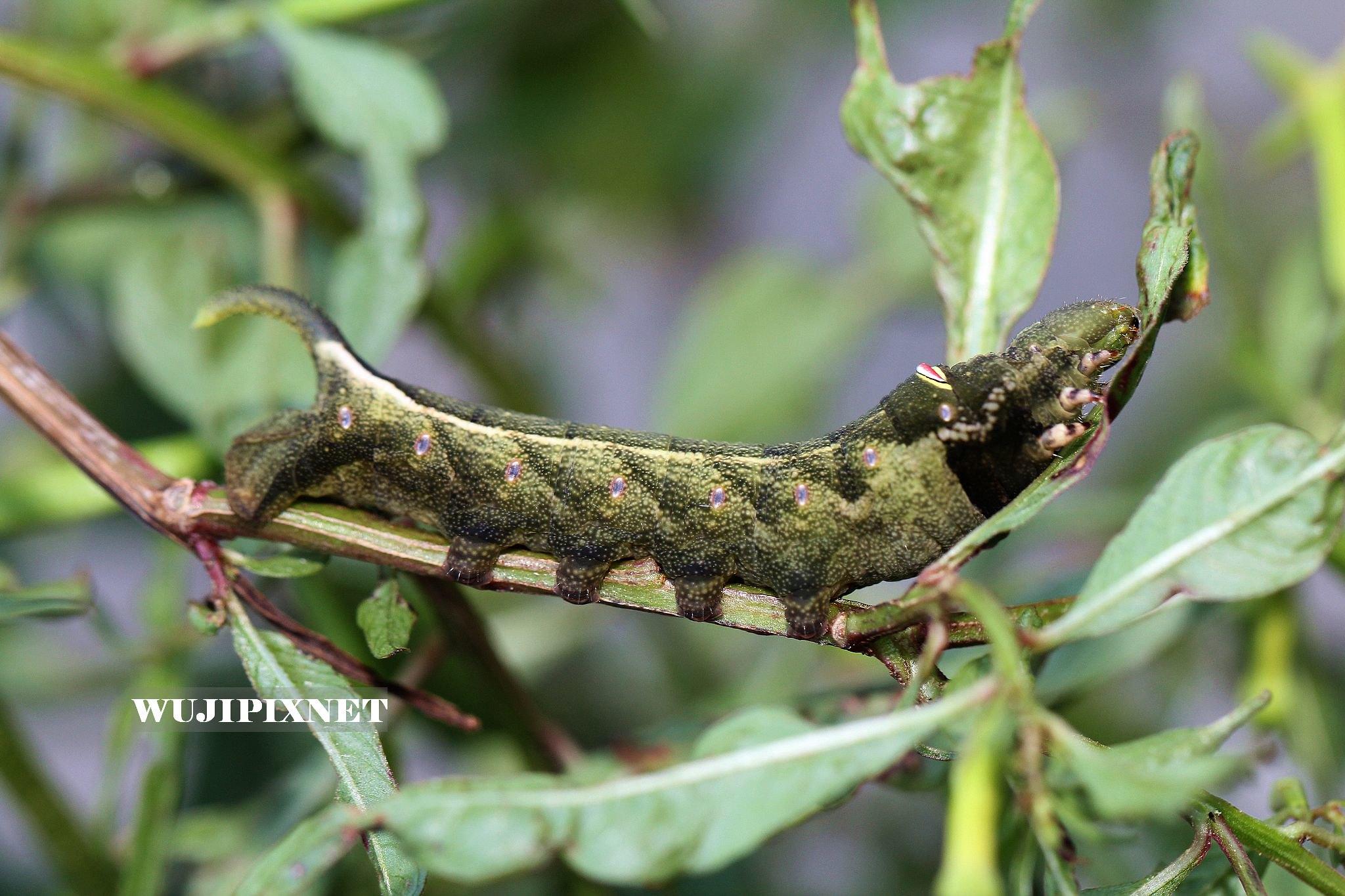 銀條斜紋天蛾幼蟲