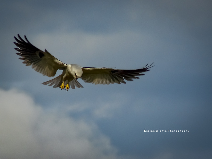 Milano Blanco - White-tailed Kite